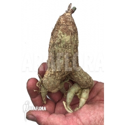Adenia lanceolata