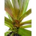Bromelien 'Aechmea filicaulis'