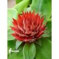 Bromelien 'Aechmea tayoensis'