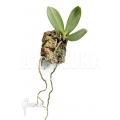 Orchidee 'Aerangis articulata'