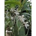 Orchidee 'Aerangis biloba'