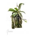 Orchidee 'Aerangis brachycarpa'