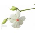 Orchidee 'Aerangis luteoalba var. Rhodosticta'