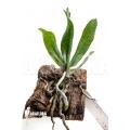 Orchidee 'Aerangis mystacidii'