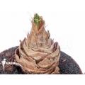 Albuca species