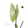 Alocasia zebrina 'Black Zebrina'