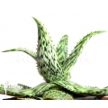 Aloe somaliensis 'Aloë'