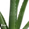 Aloe vera (Aloë)