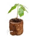 Amorphophallus polyanthus
