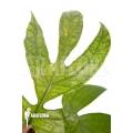 Amydrium medium