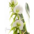 Orchidee 'Angraecum aloifolium'