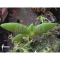 Orchidee 'Angraecum leonis'