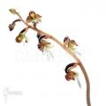Orchidee 'Anoectochilus formosanus'