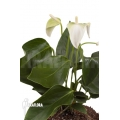 Anthurium andraeanum White