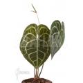Anthurium clarinervium XL