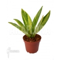 Anthurium hybrid variegated