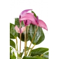 Anthurium mini Purple