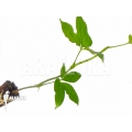Anthurium pentaphyllum 'Costa Rica'