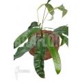 Anthurium species 2A Amazone