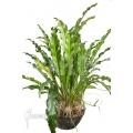 Anthurium species Amazone XL