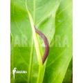 Anthurium species 'Jungle king'