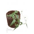 Anthurium sp Mini