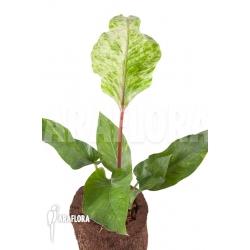 Anthurium variagata Thai hybrid