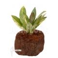 Anthurium variegated clone