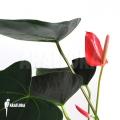 Anthurium x 'Araflora jungle'