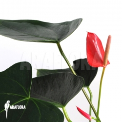 Anthurium x Araflora Jungle