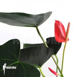 Anthurium x Araflora Jungle