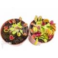 Araflora Venusfliegenfalle Dionaea muscipula starter package