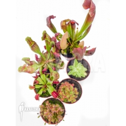 Araflora XL outdoor winterhardy carnivorous plants