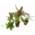 Araflora mini bromeliads package vriesea racinae