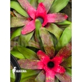 Araflora no name bromelia vdv