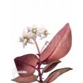 Argostemma bicolor