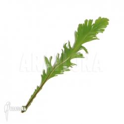 Asplenium nidus var. fimbriatum