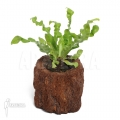 Asplenium nidus 'Crispy'