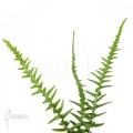 Asplenium x ebenoides 'Dragon'S tail