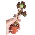 Begonia 'Cathedral' 'Starter'