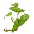 Begonia angularis