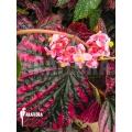Begonia brevirimosa subsp. Exotica 'Syn. Begonia Edinburgh'