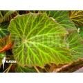 Begonia chloroneura