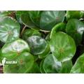 Begonia conchifolia var. Rubrimacula 'L'