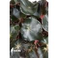 Begonia erytrophylla 'Black Jungle'