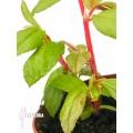 Begonia fuchsioides 'Starter'