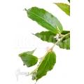 Begonia furfuracea