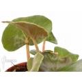 Begonia grisea Chapada Diamantina