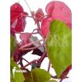 Begonia itatiaiensis