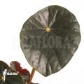 Begonia kaustyana